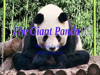 Giant Panda - slideshow